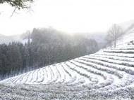 [포토]  눈으로 덮인 전남 보성 차밭 '환상적인 설경'